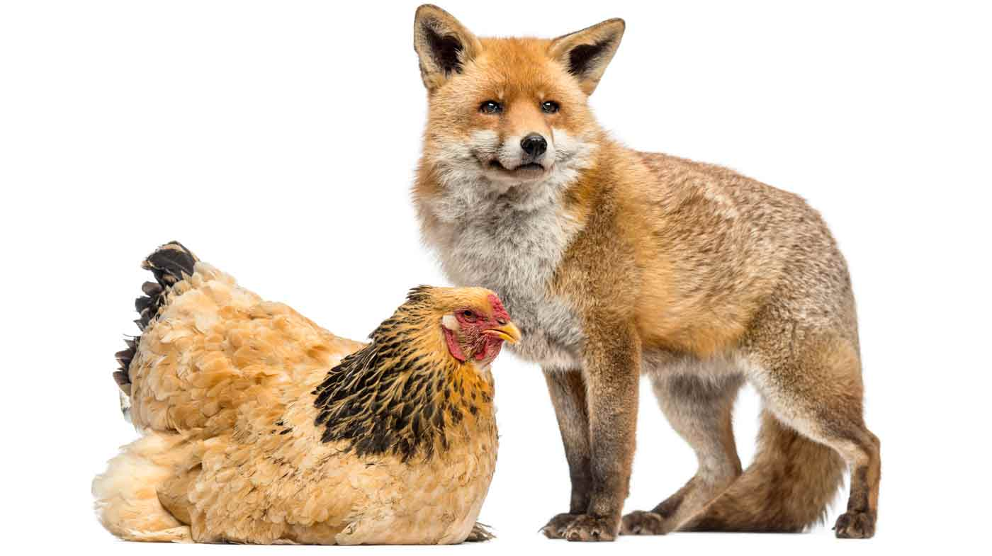 When The Fox Protects The Hen House